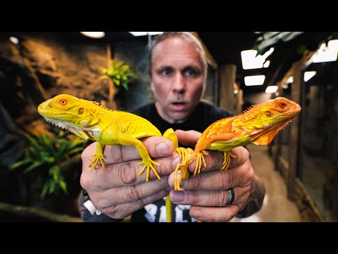 UNBOXING ALBINO IGUANAS FOR THE REPTILE ZOO BUILD!! | BRIAN BARCZYK