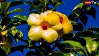 preview picture of video 'Flore de la Réunion - Allamanda'