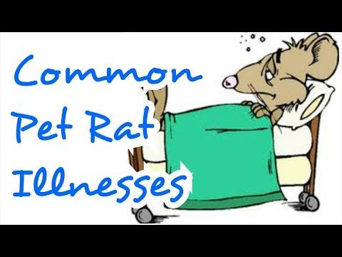Video Common Pet Rat Illnesses | Rattiepedia: Episode 7