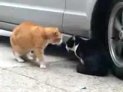 Kočičí záletník
