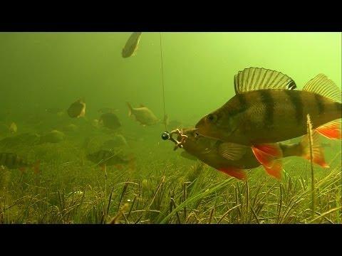 Fiskeri midt i en stime af store aborrer
