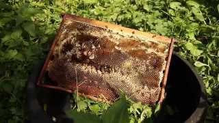 Пчелы забирают мед с рамки)