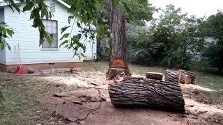 Cottonwood Removal 5