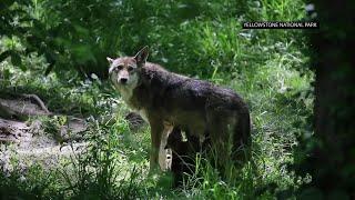 Illegal killings endanger two wolves species
