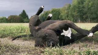 American Staffordshire Terrier - Jasper
