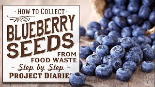 ★ How to: Collect Free Blueberry Seeds from Food Waste (A Complete Step by Step Guide)