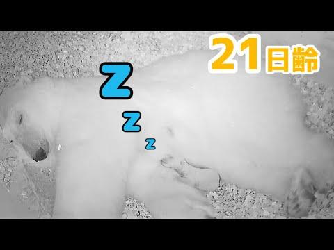 【ホッキョクグマ】お母さんの腕枕でまったり【21日齢】Polar Bear Baby Growth Record(Day 21)