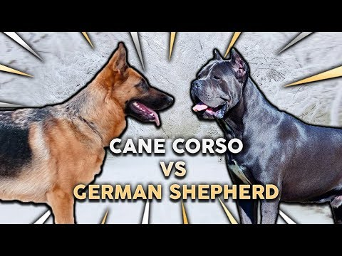 CANE CORSO vs GERMAN SHEPHERD! What's The Best Family Guard
