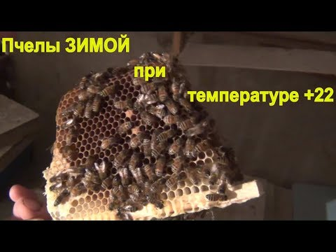 Что будет с пчёлами зимой если занести их в помещение с температурой +22 градуса.