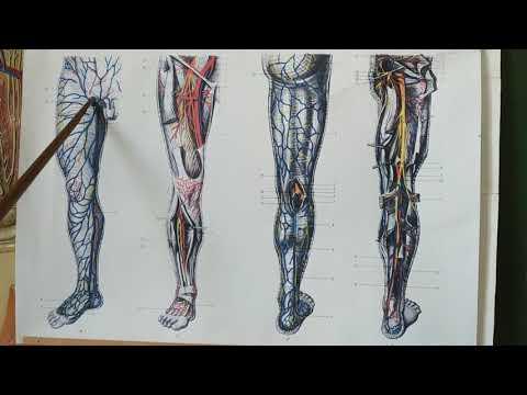 Поверхностные вены нижней конечности