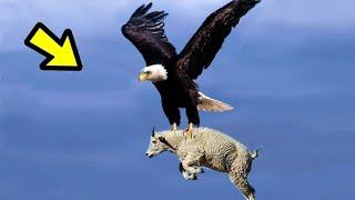 TOP 10 Increíbles Peleas entre Animales Captados En Video Ep.3 |  Águila, Cabra y Animales De África