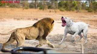 Dogo Argentino VS Lion - Trained Dogo Argentino Attacks Lion Real Fight - Blondi Foks