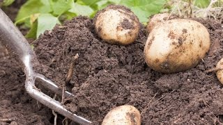 Planting and Growing Potatoes
