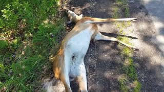 Dead deer being eaten by maggots Poconos PA eat less