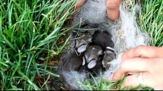 Baby Bunnies Found in Grass