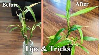Saving Lucky Bamboo | Do's & Don'ts | Lucky Bamboo Plant Care | Tips & Tricks | Bubbles of Green