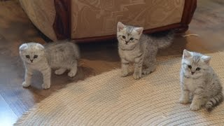 Шотландские котята смешно играют Scottish kitten merry laughter