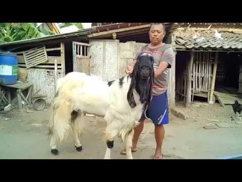 Video Peternakan Kambing Kontes Pejantan Etawa Super (PE) Kaligesing Purworejo