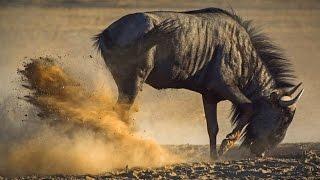 lioness tear off testicles wildebeest /  لبؤة تمزيق بيض الحيوانات البرية