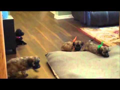 Mini Whoodle pups! XOXO
