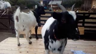 Kozy si ze mě dělají Dobrý den