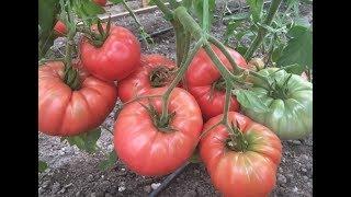 Урожайные сорта помидоров для теплиц видео