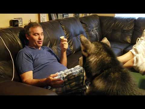 Malamute Shares Ice Cream Cone With Daddy