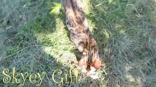 бенгальская кошка продажа