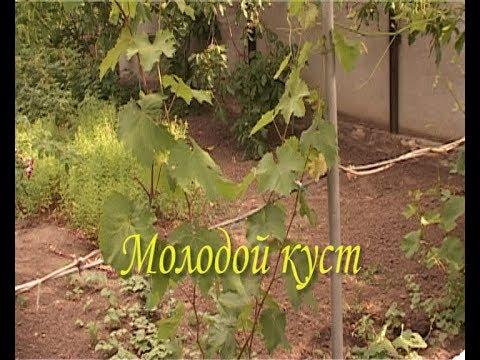 Виноград. Первый урожай.