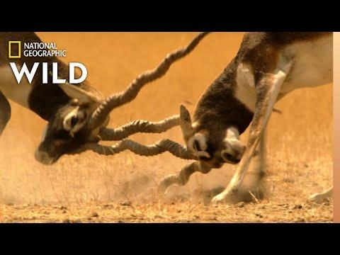 Bucks Battle for Dominance   Lands of the Monsoon