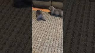 Bantam Bulldog Puppies Videos