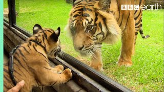 Cubs Meet Adult Tiger for the First Time | Tigers About The House | BBC Earth