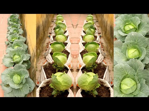 , title : 'Brilliant Idea | Growing Cabbage at Home, easy for Beginners | TEO Garden