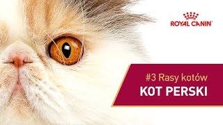 #3 Rasy kotów - Kot perski    ROYAL CANIN