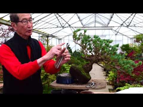 Pine Bonsai Reshape and Prune