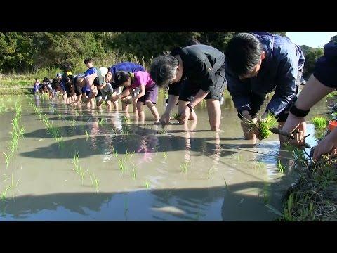 種子島の学校活動:茎南小学校もち米田植え体験