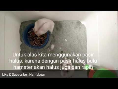 Video TERNAK/BREEDING HAMSTER | UNTUK PEMULA | #Hamsbear