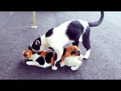 Come si accoppiano due gatti?