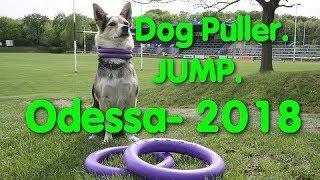 Dog Puller Odessa. Jump. Чемпионат. Дог-пуллеру. Одесса. Собаководы. Собачники. Спорт. Чемпионы. Dog