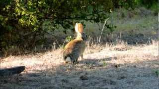 Brush Rabbits Coming Out to Feed Before Sunset