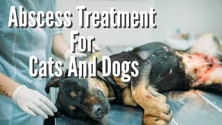 Abscess Treatment For Cats And Dogs