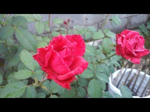 Video Cara Budidaya Bunga Mawar di Rumah