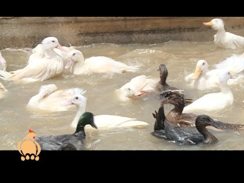 Duck farming guide for agribusiness, cheaper and simple - Poultry Part 1