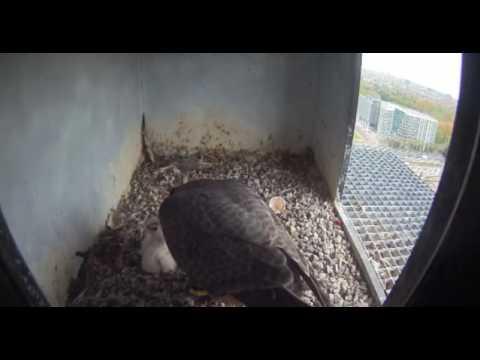 Nest 2: Mum Feeding Chicks - 17.04.17