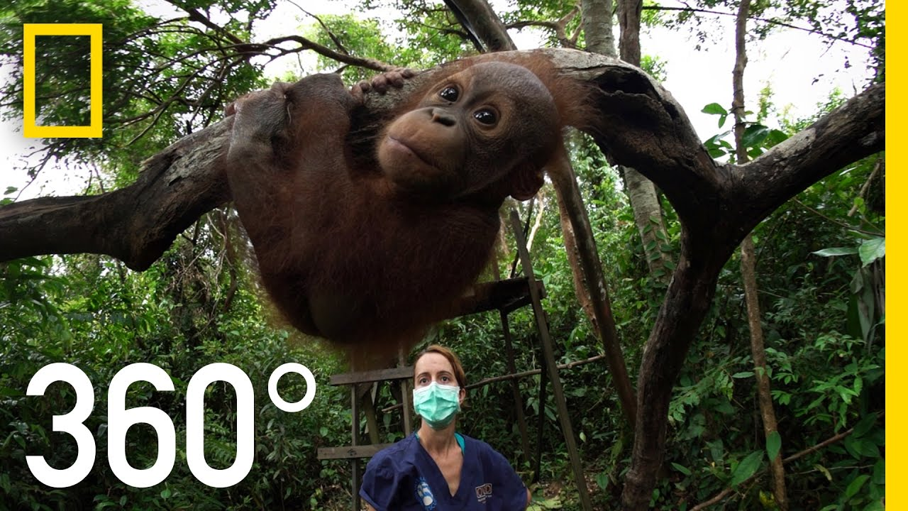 360° Orangutan School | National Geographic thumbnail