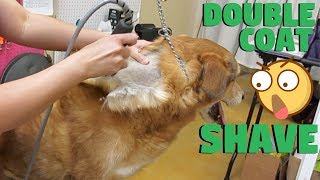 Dog Double Coated Shave No Damage To Coat PROOF!
