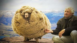 A new fleece of life! Neglected sheep that dodged the shears for  FIVE YEARS can see again