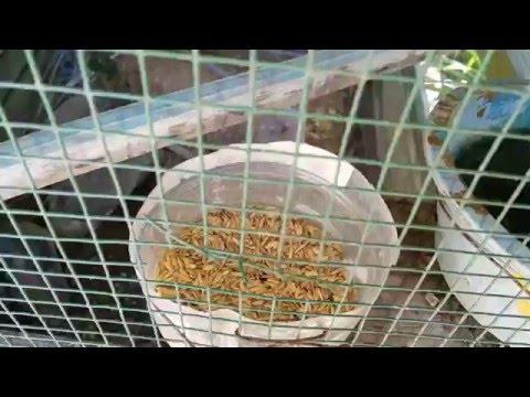 Video Cara Ternak Burung Tekukur