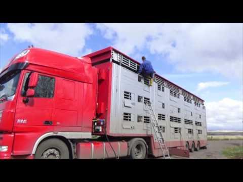 Беременные коровы едут 5500 км