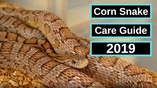 Corn Snake Complete Care Guide